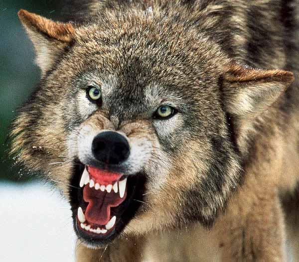 Satanic Wolf